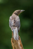 Young Comon Grackle. A Common Grackle perched on a stump Royalty Free Stock Images