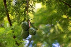 Young cones ate in the summer or spring. Natural composition.  royalty free stock image