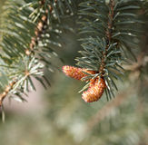 Young cones on a branch  spruce Stock Image