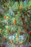 Young cones on a green pine branch Stock Image