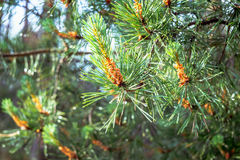 Young cones on a green pine branch Royalty Free Stock Image