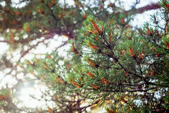 Young cones on a green pine branch Royalty Free Stock Images