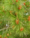 Young cones in a green pine tree Royalty Free Stock Image