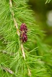 Young cones Larch in spring park Stock Photography