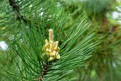 Free Young Cones On A Pinus Nigra, Austrian Pine Or Black Pine. Beautiful Long Needles And Bokeh Royalty Free Stock Image - 163126906