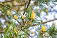 Young cones on a pine branch in spring Royalty Free Stock Image