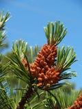 Young cones of a pine ordinary (Pinus sylvestris L. ) Stock Photos