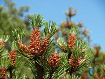 Young cones of a pine ordinary (Pinus sylvestris L. ) Royalty Free Stock Photos