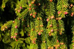 Young cones. Red small cones on the tree stock photography