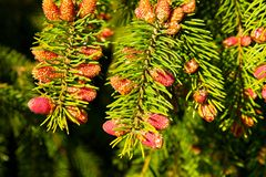 Young cones. Red small cones on the tree royalty free stock image