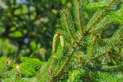 Young cones on the spruce Royalty Free Stock Photo