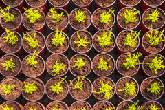 Young conifer sprouts in pots. Young conifer sprouts in plastic pots inside a greenhouse Stock Photography