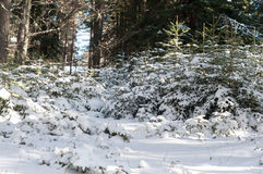 Young coniferous trees. Covered with snow in the woods stock images