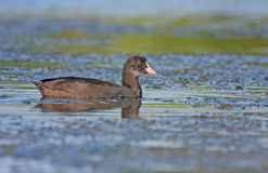 Young coot Stock Images