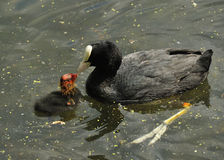 Young coot being fed by parent. Very young red-headed coot being fed by parent on lake Royalty Free Stock Photography
