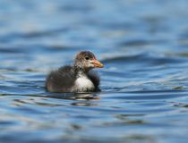 A young Coot royalty free stock photo