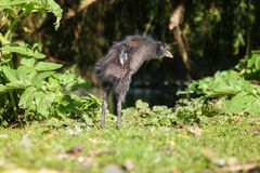 Young coot standing Royalty Free Stock Photo