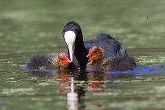 Young Coots (Fulica atra) with parent royalty free stock photography