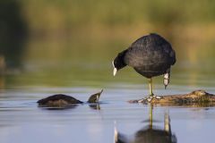 Young coots Royalty Free Stock Photo