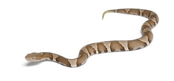 Young Copperhead snake or highland moccasin Royalty Free Stock Image