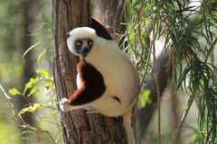 Young coquerel sifaka Royalty Free Stock Images