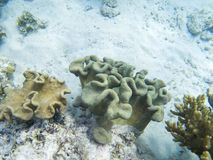 Young coral formation on sandy sea bottom. Coral reef underwater photo. Tropical sea shore snorkeling or diving.