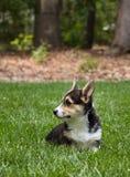 Young corgi dog Royalty Free Stock Image
