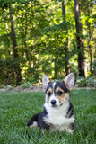 Young corgi puppy Stock Photography