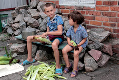 Young corn. The boy and the girl clean corn cars Stock Photo