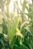 Young Corn Close up. Close Up Of young corn growing Stock Image