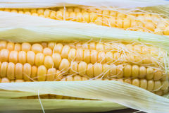Young corn cobs close Royalty Free Stock Photo