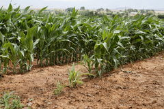 Young Corn crop Stock Photo