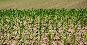 Young corn crops. Corn field royalty free stock image