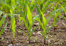Young corn crops stalk. Young corn crop at spring Royalty Free Stock Photography
