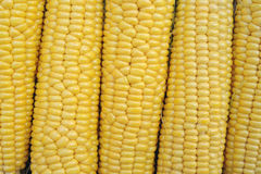 Young corn dairy ripeness, food varieties grown on an ecological farm. Away from the city, roads, factory emissions royalty free stock images