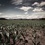 Young Corn Stock Photography