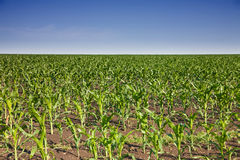 Young corn on field. With blue sky Stock Photo