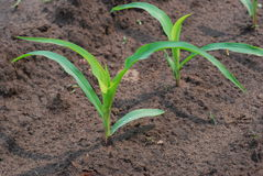 Free Young Corn Field Royalty Free Stock Images - 35180919