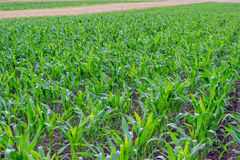 Young corn field, corn plots 2 Royalty Free Stock Images
