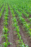 Young corn field, corn plots Stock Image