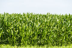 Young corn field Stock Photos