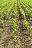 Young corn field Royalty Free Stock Photo