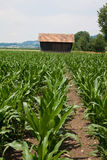 Young corn field and house. Landscape with corn field and little house royalty free stock images