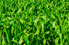 Young corn field Royalty Free Stock Images
