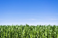 Young corn field at summer Stock Images