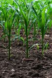 Young corn field stock photography