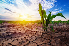 Young corn growing in dry environment. Drought season on maize crop plantation Stock Photography