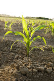 Young Corn plant Stock Photos