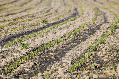Young corn plant 002-130509 Stock Photography