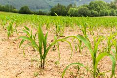 Young corn plant. Dry field with corn. Waiting for the rain. Agricultural farm. Weed. Young corn plant. Dry field with corn. Waiting for the rain. Agricultural Stock Images